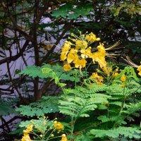 Цезальпиния прекраснейшая Caesalpinia pulcherrima :: ирина