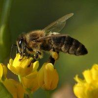 Пчёлы :: Vit
