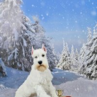 Белый Цвергшнауцер :: Катерина Терновая