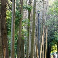 Аллея из прямых тонких деревьев с глазком посредине :: Лира Цафф