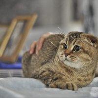 Испуганый котик на выставке :: Ольга Винницкая (Olenka)