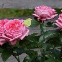роза La Rose de Molinard :: lenrouz