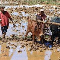 Труженики рисовых полей :: Евгений Печенин