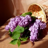 Корзина с майской сиренью :: Лидия Бараблина