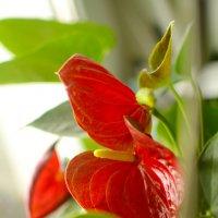 красный цветочек :: Александра nb911 Ватутина