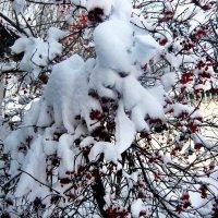 Калина  в снегу. :: Lybov