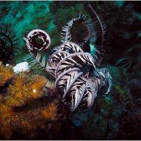 Морская лилия... :: алексей афанасьев