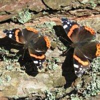 Бабочки :: Александр Михайлов