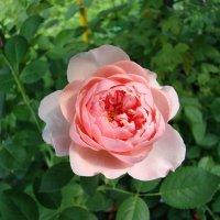 Розовая роза :: Татьяна Георгиевна