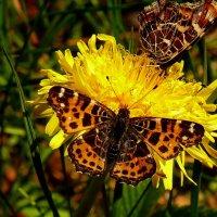 Пестрокрыльница изменчивая Araschnia levana (Linnaeus, 1758) :: Александр Прокудин