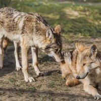 Волки :: Nn semonov_nn