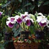 орхидеи :: Ксения Жильникова