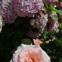 Розовая нежность :: Ольга