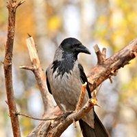 Наша знаменитая ворона :: Сергей