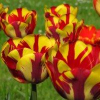 Тюльпановый парад.. :: Татьянка ***