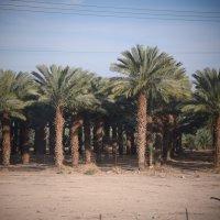 Пальмовые плантации. Израиль :: Елена Третьякова