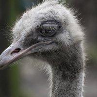 Грустный страус :: Nata_li В.