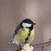 Птички-синички :: Nataliya Zvorigina