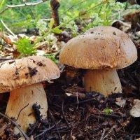 Белые грибы ходят в лесу :: Валентина Пирогова