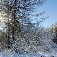 Деревья в снегу :: Лариса Брагунец