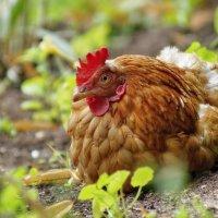 Рыжая курица :: Olcen Len