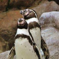 В пингвинарии :: Natali Positive