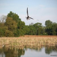 Черноголовая чайка :: Константин Виниченко