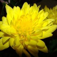 Жёлтая хризантема. :: Наталья Золотых-Сибирская
