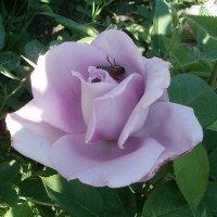 Сиреневая роза :: Марина Чайкина