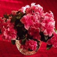 Цветы азалии. :: нина