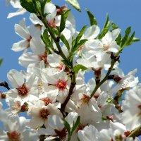 Цветет миндаль :: Mir-Tash