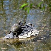 Черепахи греются на солнышке :: Татьяна Смоляниченко
