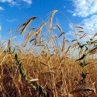 О, поле, как ты широко!  Не счесть числа твоей пшеницы... :: Лидия Бараблина