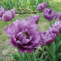 Тюльпаны :: Марина Чайкина