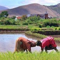 В борьбе за рис :: Евгений Печенин