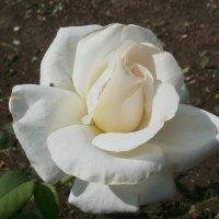 Белая роза :: Марина Чайкина