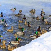На весеннем пруду. 25 марта. :: Валентина ツ ღ✿ღ