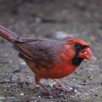 Красный кардинал :: Василий Дудин