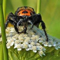 Megascolia maculata :: Vit