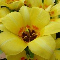Желтый тюльпан :: Татьяна Лобанова