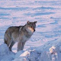 Тундровый волк. :: Юрий Харченко