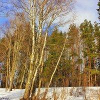 Весна в лесу :: Сергей Кочнев