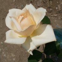 Кремовая роза :: Марина Чайкина