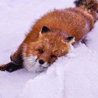 Лиса в снегу купается. :: Юрий Харченко