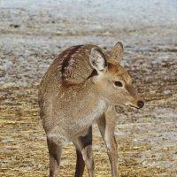 Самка северного пятнистого оленя :: Леонид Иванчук
