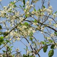 Цветет апельсиновое дерево :: Герович Лилия