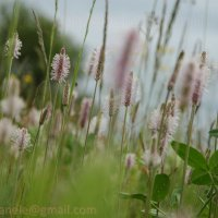 Цветы подорожника :: Elena Gosteva