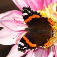Крылья яркие, как в сказке! :: SELENA4950