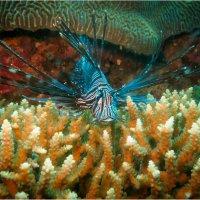Это мой коралл! :: алексей афанасьев