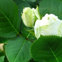 Начало жизни белой розы :: Милешкин Владимир Алексеевич